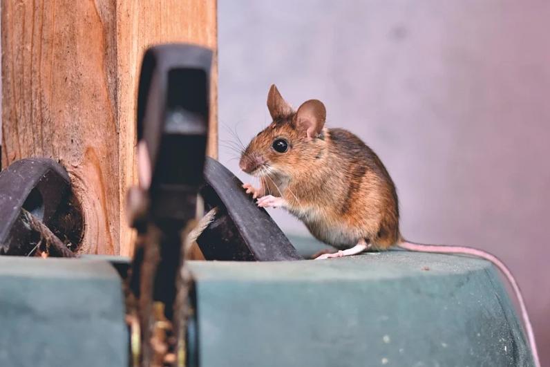 un souris